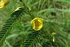8%黃烷醇新一代減肥原料水皂角提取物Cassia Nomame Extract