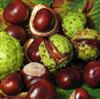 20%七葉皂甙娑羅果提取物Horse Chestnut Extract